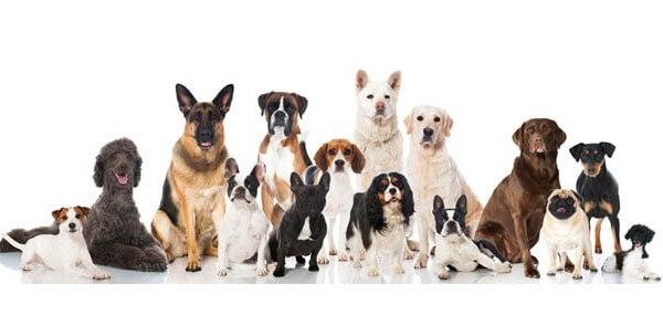 www.racedechien.fr:votre portail pour choisir un chien
